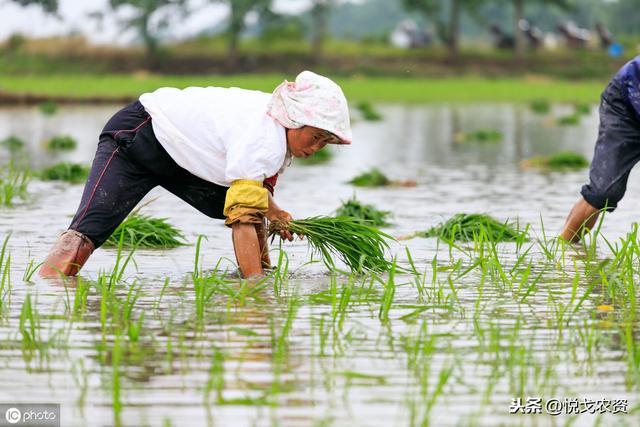 马上该种水稻了这一份水稻施肥宝典拿走不谢