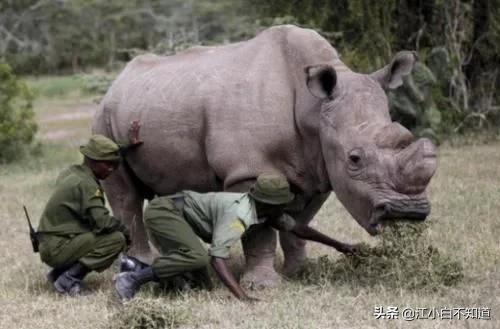 全世界最后一只白犀牛,被特种兵24小时持枪守护,如今怎么样了