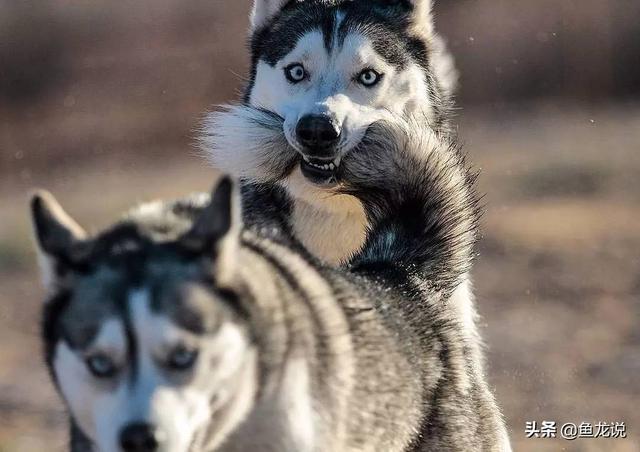 二哈和狼的基因相似度99%,为什么性格差别这么大?长见识了
